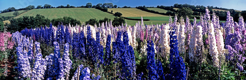 Canvastavla A colourful field of Delphiniums growing commercially in the countryside