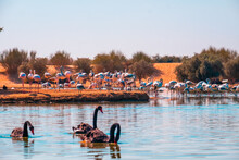 Lake With Black Swans And Flamingoes On The Shore
