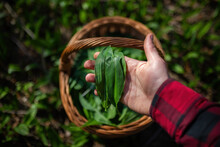 Human Hand With Red Sleeves Holding Plucked Leaves Of Buckram In Spring Nature. Bear Garlic Harvest From Top View. Person Collecting Wild Plants Into A Basket In Woodland.