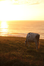 A Happy Cow Grazes In A Meadow Right On The Beach By The Old Atlantic Ocean In The Sunset