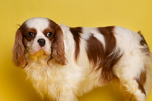 Dog Cavalier King Charles Spaniel Sit On Yellow Background