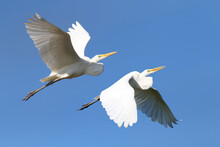 Two Great Egret (Ardea Alba) Flying Over The Blue Sky