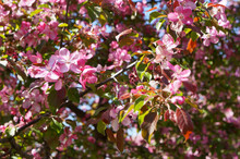 Blooming Pink Apple Tree Branch In The Garden