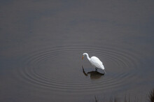 Great Egret Background