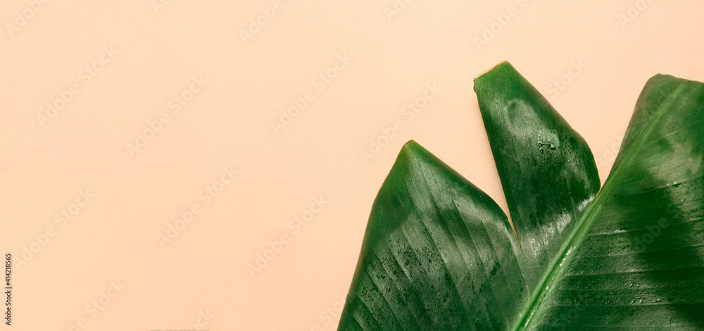Fototapeta Fresh green banana leaf with water drops on beige background, space for text