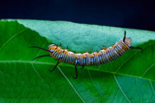 Caterpillar Stage Of A Monarch Butterfly