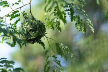 New Weaver Bird's Nest In A Tree