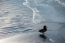 Duck In The Snow, Nacka,sweden,sverige,stockholm