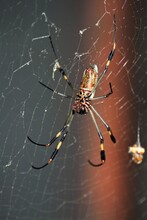 Yellow Orb Weaver On Web