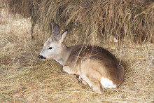 A Little Cute Fawn Lies On A Haystack.