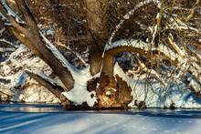 Mächtiger Baum Mit Vielen Zugeschneiten Und Von Der Sonne Angeleuchteten Ästen Am Ufer Des Zugefrorenen Sees.