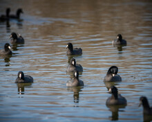 A Flock Of American Coots (Fulica Americana) At The Sepulveda Basin Wildlife Reserve, Los Angeles, CA...