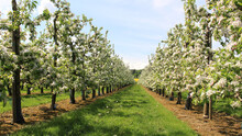 Scenic Orchard With Straight Rows Of Blooming Apple Trees