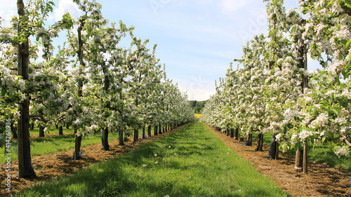 Obraz na płótnie Scenic orchard with straight rows of blooming apple trees