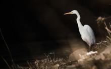 Wild Lebender Silberreiher Am Ufer Eines Flusses Auf Der Jagd Nach Beute (Ardea Alba)