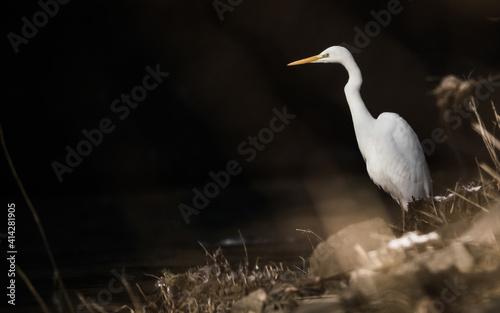 Photo Wild lebender Silberreiher am Ufer eines Flusses auf der Jagd nach Beute (Ardea