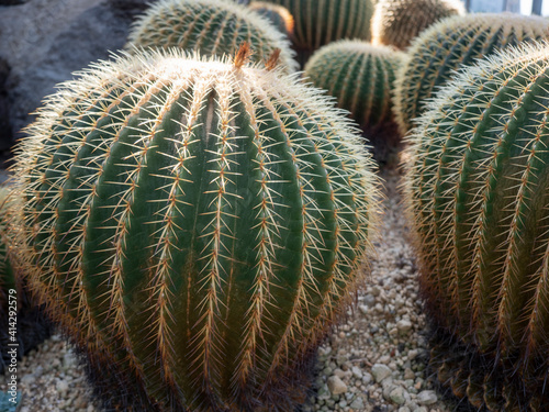 Fototapeta 温室の中のサボテン