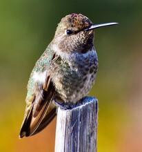 Cute Tiny Baby Anna's Hummingbird Perched On Stick