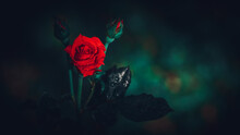 Isolated Single Red Rose Flower And Two Buds In The Dark, Dew On The Flower Petals And Glowing Hot Red Creates A Romantic Mood.
