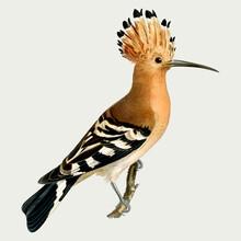 Eurasian Hoopoe Bird Vector Hand Drawn