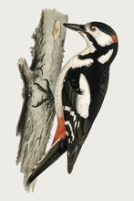 Great Spotted Woodpecker Vector Bird Hand Drawn
