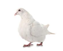 Texan Pigeon In Studio