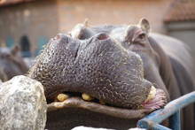 Hippo Put His Muzzle On The Side Of The Aviary, Close.