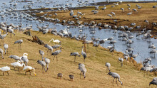 Cranes And Whooper Swans On A Beach Meadow By A Lake In The Spring