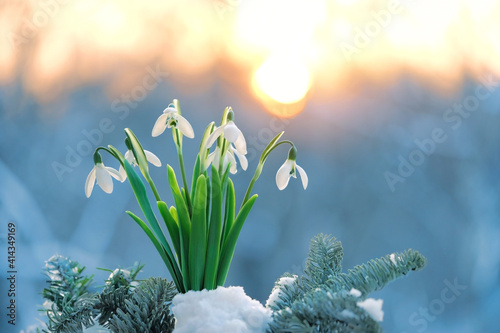 Fototapeta Blossom snowdrops flowers in snow. Beautiful spring nature background. early spring season concept. obraz
