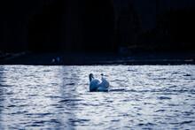 White Swan In A Lake