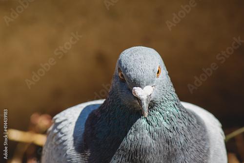 Fotografia にらみつけるハト