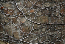 Background - A Stone Wall Entwined With Dry Winter Stems Of Vines