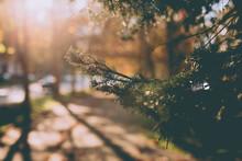 Beautiful Shot Of A Pine Tree Leaf At Sunrise