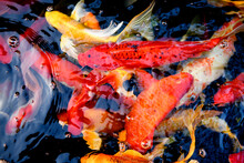 Abstract Blurred Background Of Fancy Carp Fish Pond