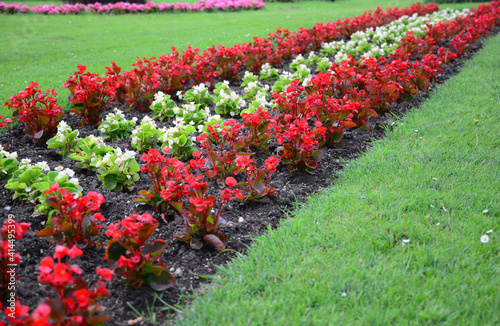 Fotografia Pretty low blooming red and white begonia flowers in the flowerbed along the green lawn