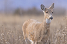 Whitetail Deer In Soft Morning Life On The Ninepipe National Wildlife Refuge In Montana