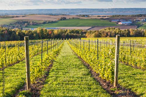 Obraz na płótnie Canada, Nova Scotia, Annapolis Valley, Wolfville. Local vineyard.