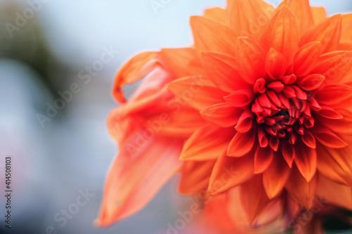 Billede på lærred Closeup shot of an orange dahlias flower