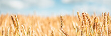 Golden Ripe Ears Of Wheat In Field During Summer, Warm Day, Blue Sky, England, UK