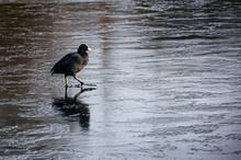 Eurasian Coot (Fulica Atra) Walking On A Frozen Pond