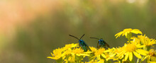 Beetles Are Blue Metallic In Yellow Wildflowers. Selective Focus. Blurred Background.