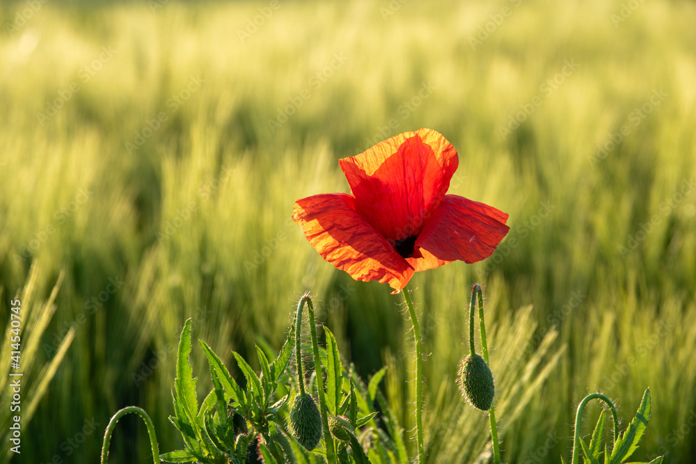 Fototapeta poppies in the cereal in autumn