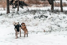 Two Dogs Are Playing In The Snow  They Are Both Males One Is A Small Purebred Brown Pitbull With Blue-collar And The Other Is A Half-blood Stray Dog Of The Forest
