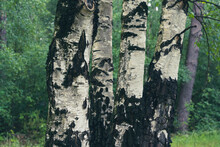 Birch Trees With Emerging Foliage In Summer Time In Lueneburger Heide Landscape