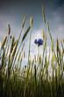 canvas print picture - joli petit bleuet au milieu d'un champ de céréales: la biodiversité grâce à l'agriculture biologique
