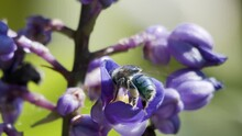 Euglossini Bee, Or Orchid Bee, Collecting Pollen On A Delphinium Guardian Flower. Slow Motion Macro Shot. Soft Focus Green Background With Other Plants. Florianópolis, Santa Catarina / Brazil