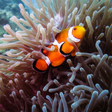 Amazing Clownfish in Anemone in Thailand ocean