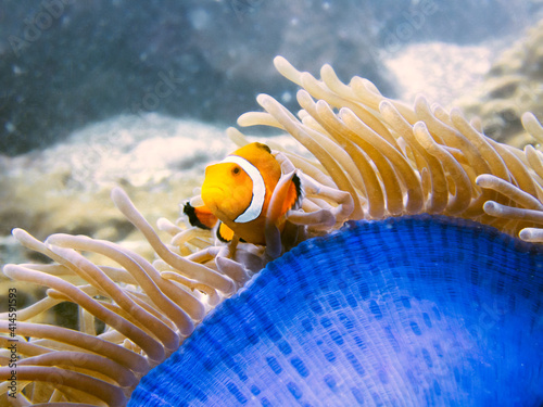 Clownfish coming out of living anemone Fototapet