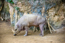 A Male Buru Babirusa Stands Alone. It Is A Wild Pig-like Animal Native To The Indonesian Islands Of Buru, Also Called Deer-pigs. Babirusa Are Notable For The Long Upper Canines In The Males.