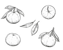 Hand Drawn Sketch Black And White Of Mandarin, Tangerine Fruit, Leaf. Vector Illustration. Elements In Graphic Style Label, Card, Sticker, Menu, Package. Engraved Style Illustration.